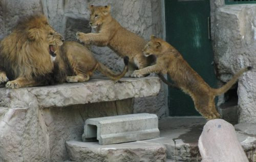 lion_080628.jpg
