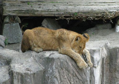 lion_080701.jpg