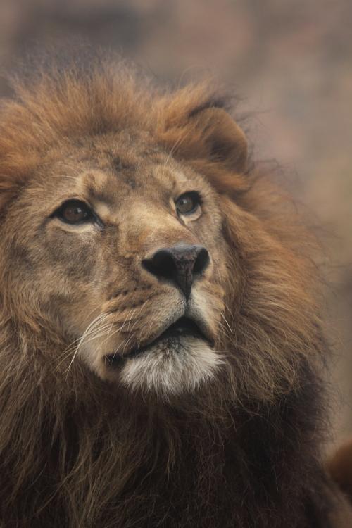 lion_101123_1.JPG