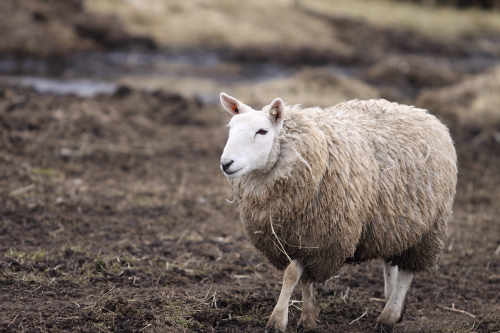 sheep_100418_3.JPG