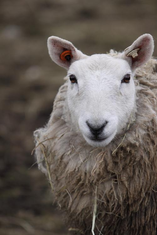 sheep_100418_4.JPG