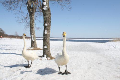 swan_090308.jpg