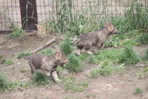 wolfIMG50D_20110615_0095_.JPG