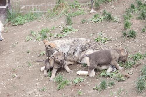 wolfIMG50D_20110615_0171_.JPG