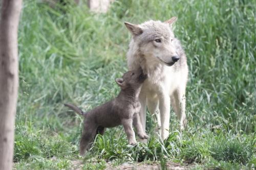 wolfIMG50D_20110615_0756_.JPG