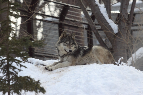 wolf_110102_1.JPG