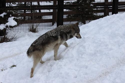 wolf_110102_10.JPG