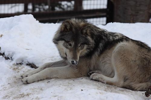 wolf_110102_11.JPG