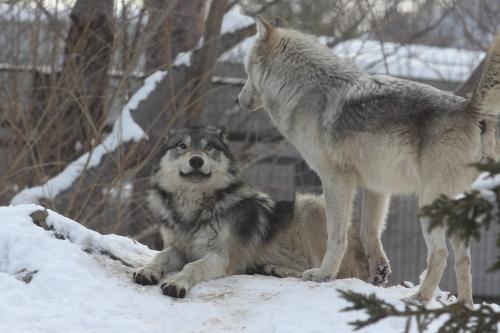 wolf_110102_12.JPG