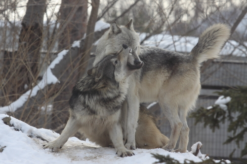 wolf_110102_13.JPG