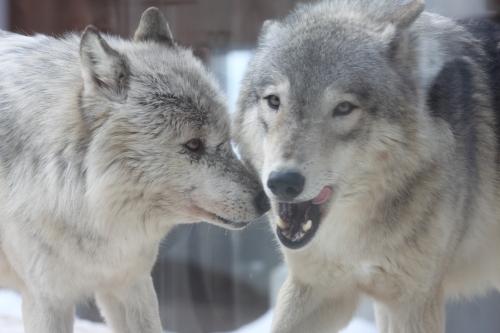 wolf_110102_14.JPG