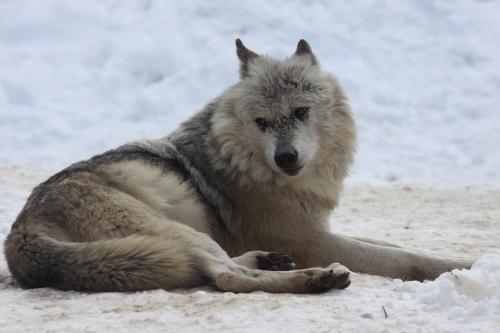 wolf_110102_2.JPG