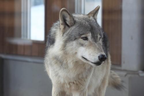wolf_110102_3.JPG