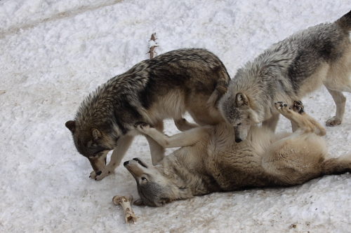 wolf_110102_4.JPG