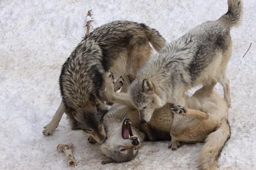 wolf_110102_5.JPG