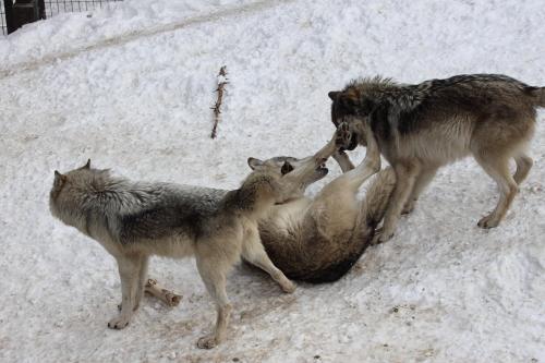 wolf_110102_6.JPG