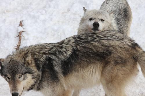 wolf_110102_8.JPG