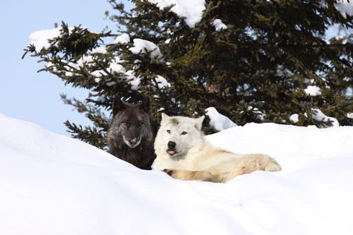 wolf_110221.JPG