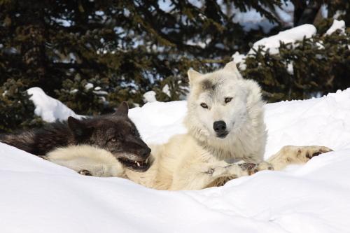 wolf_110221_2.JPG